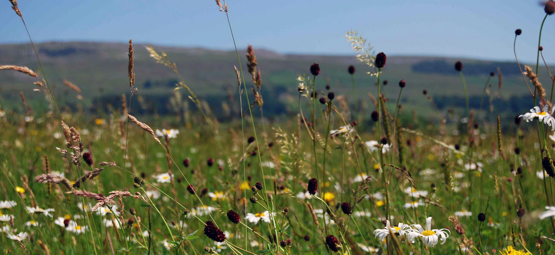 Species-rich meadows at Askrigg in Wensleydale