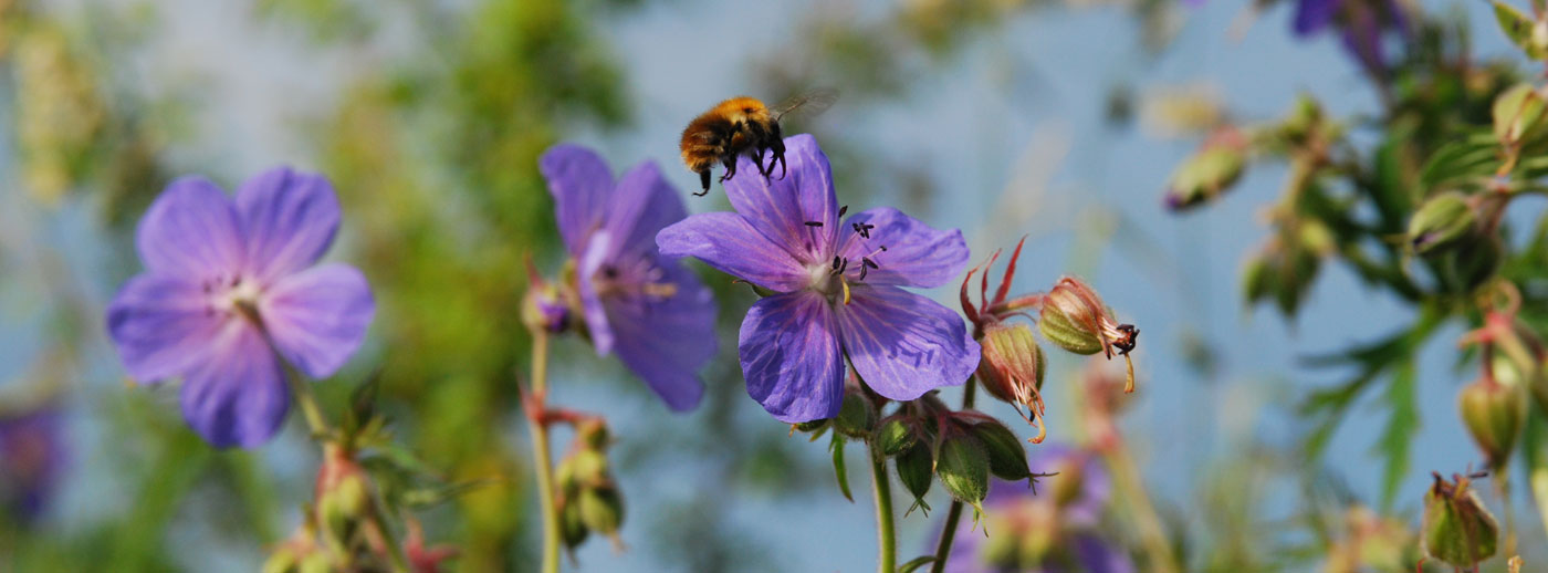 Carder bee on meadow cranesbill
