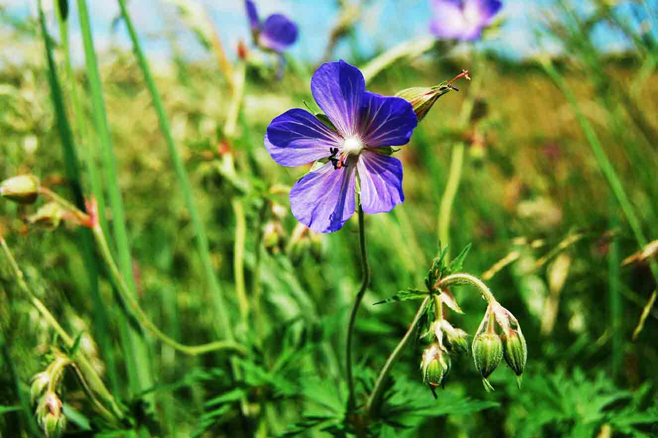 Meadow Cranesbill Yorkshire Dales