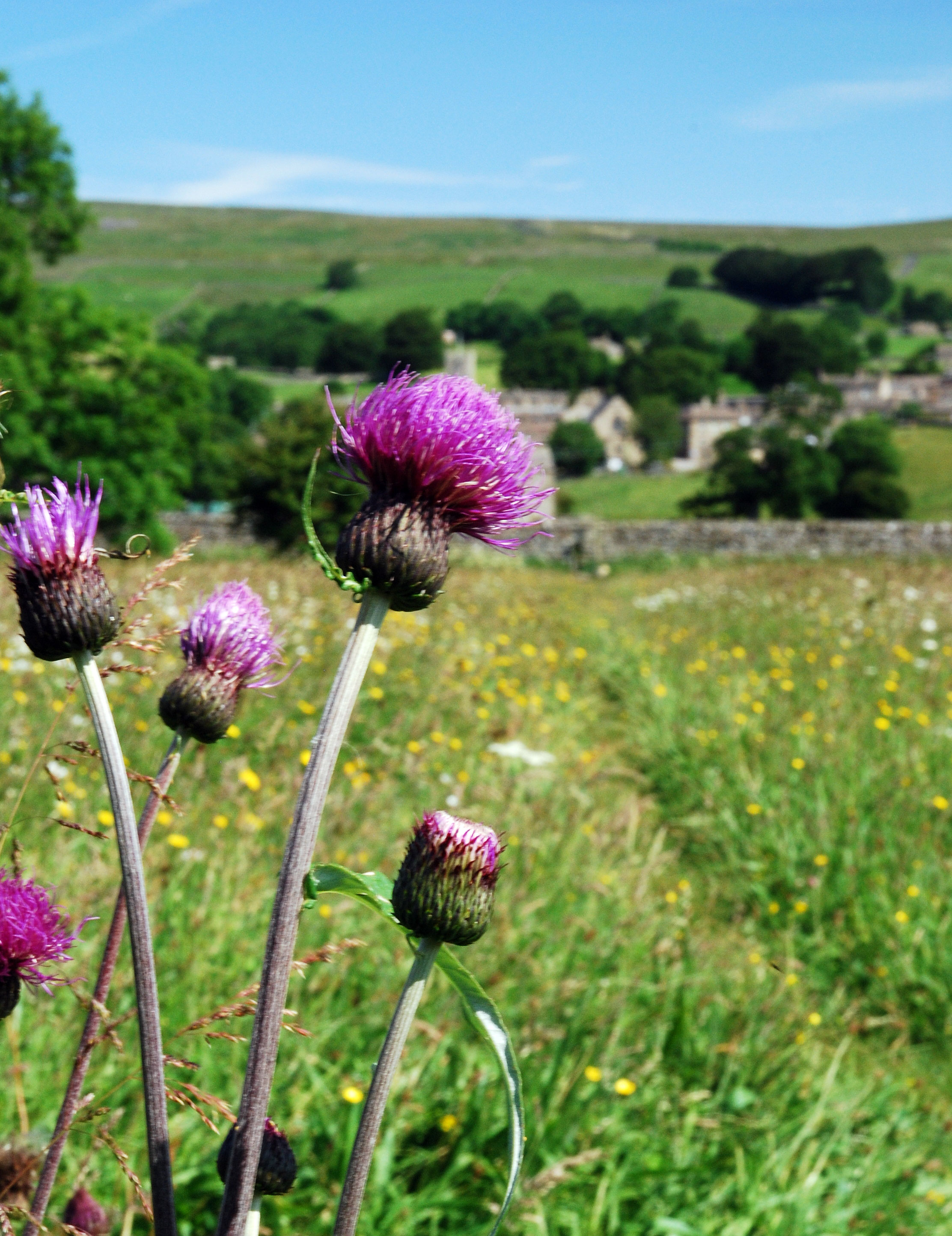 Melancholy Thistle, Yorkshire Dales