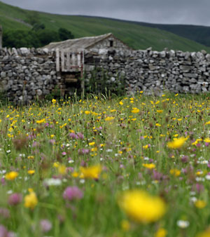 Wildflower meadow in the Yorkshire Dales